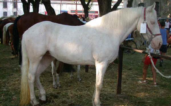 Razza Albino