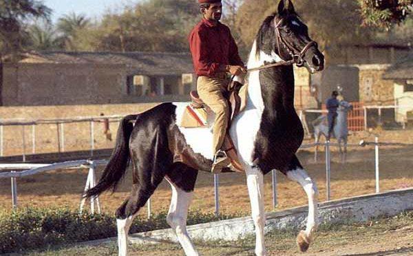 Razza Marwari Pony