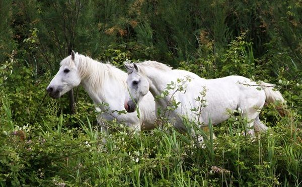 Cavallo del delta
