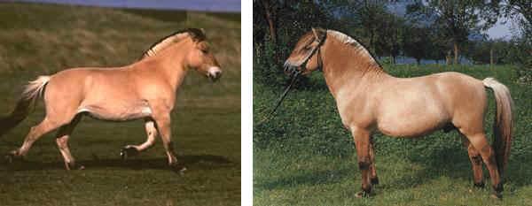 Razza Fjord Pony