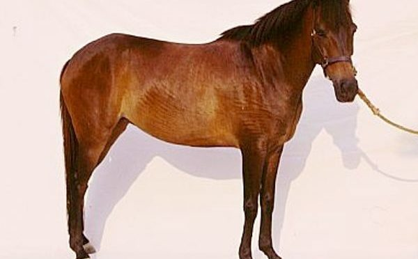 Razza Giava Pony
