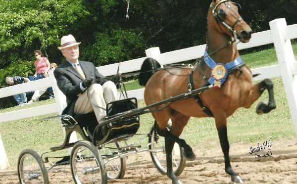 cavallo razza  Pony hackney