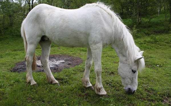 Razza Northlands Pony