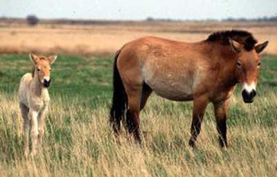 Razza Cavallo di Prezewalski
