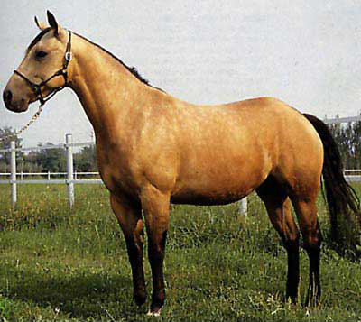 Razza Quarter horse