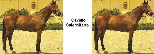 Razza Salernitano