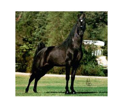Razza Tennesse walking horse