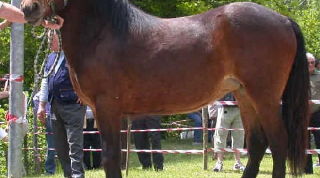Sfilata di cavalli Bardigiani a De Ferrari. Dall'entroterra per il battesimo della sella