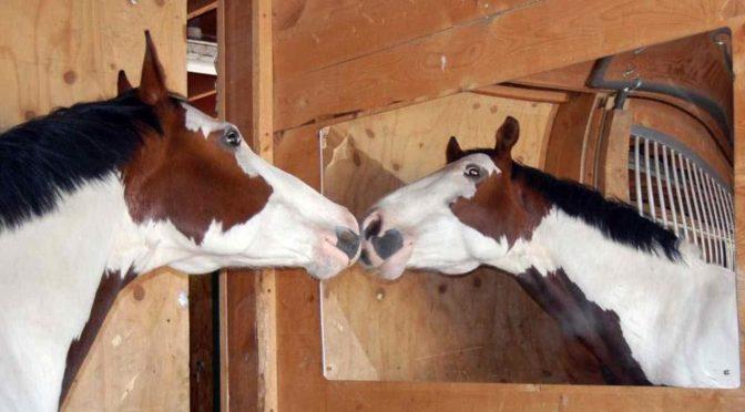 """""""Anche i cavalli si riconoscono allo specchio"""""""