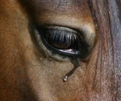 «I cavalli atleti rischiano il macello» È scontro sulla norma cambiata