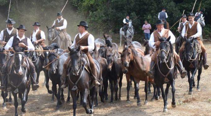A Viterbo transumanza con cavalli Tolfetani e vacche Maremmane
